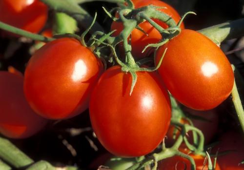 ars_ohio_processing_tomato.jpg
