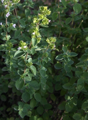 oregano-03_lebenslang_hg.jpg