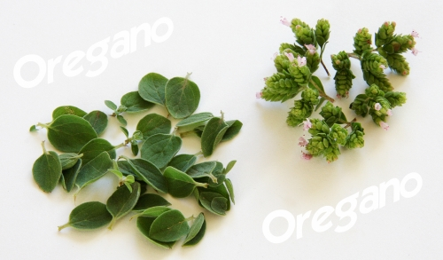 oregano-04_lebenslang_hg.jpg