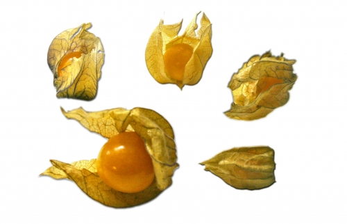physalis_01_dauni.jpg