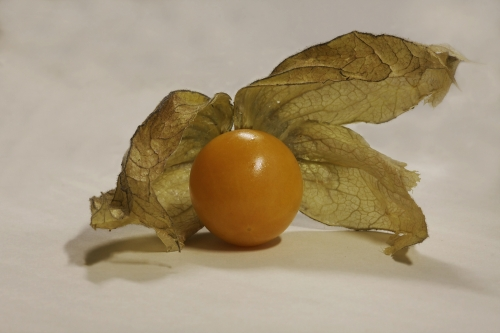 physalis_hg_lebenslang