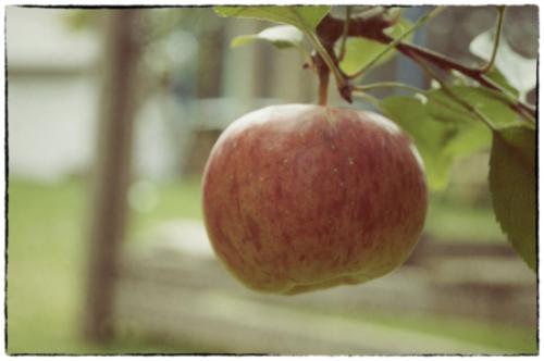 Der letzte Apfel im eigenen Garten
