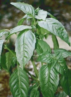basil_1511.jpg